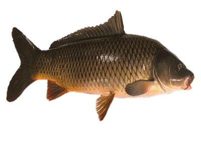Carp and medical benefits from food