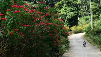 Cùng đến vườn quốc gia Xuân Sơn tỉnh Phú Thọ ngắm hoa trạng nguyên đi mọi người ơi!