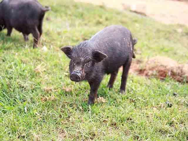 Thịt lợn mán hòa bình