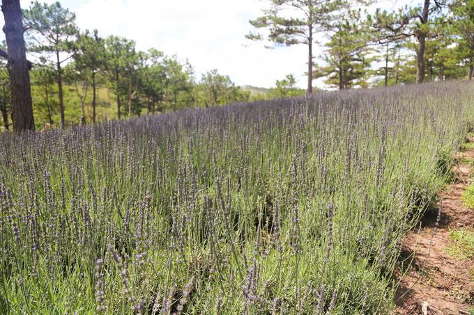 Vườn hoa oải hương tím biếc giữa trung tâm Đà Lạt