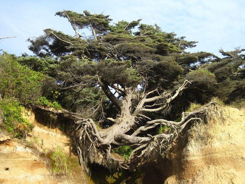 Thú vị về Cây đời hay cây chạy trốn ở Washington