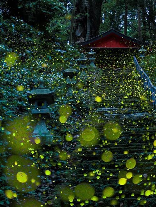 Rừng đom đóm đẹp mê hoặc ở Nhật Bản