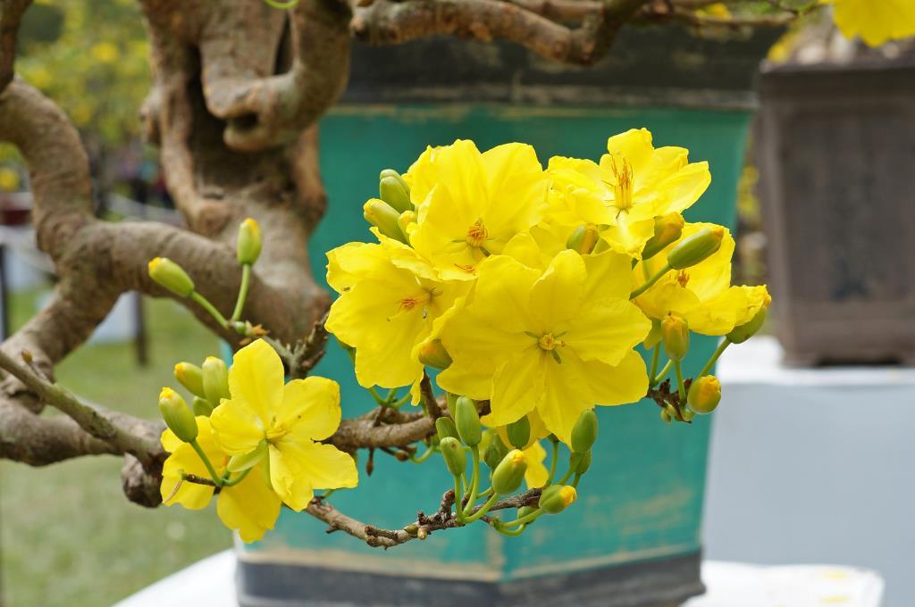 Hướng dẫn cách làm cho hoa mai nở đúng dịp Tết Nguyên Đán
