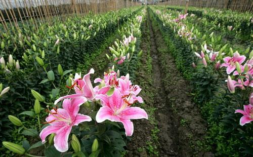 Hướng dẫn trồng hoa ly trong vườn nhà
